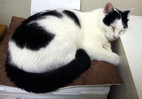 Faxの上のクッションで寝るちっぷ