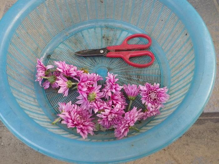 食用菊収穫15_08_24