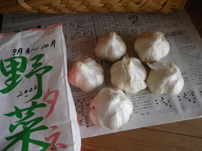 大蒜の種15_08_22
