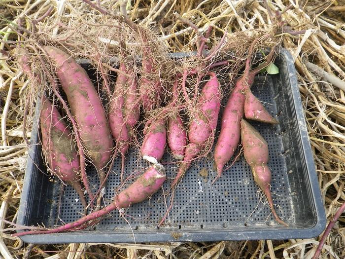 収穫2_15_09_05