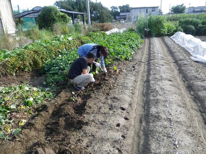 芋掘り15_10_03