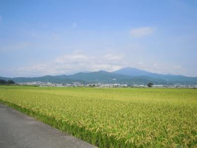 稲の生育状況150905