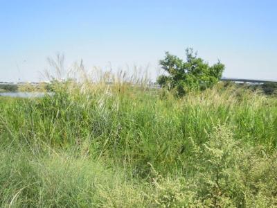 相模川沿いでススキ