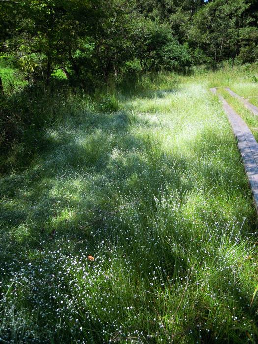 F湿地のシラタマホシクサが見頃です。