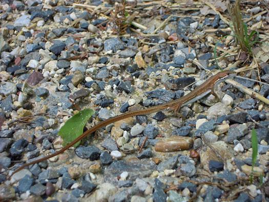 しっぽの長いカナヘビ。