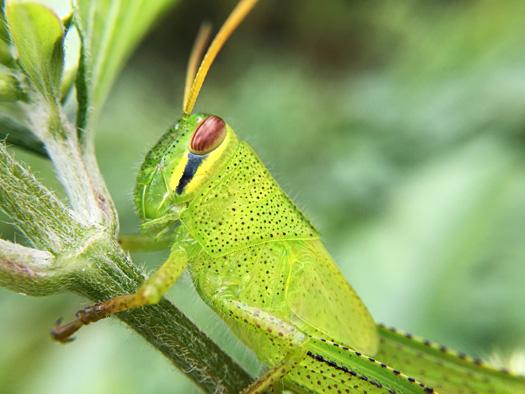 ツチイナゴの幼虫。