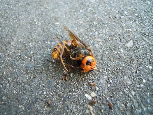 スズメバチの死骸。