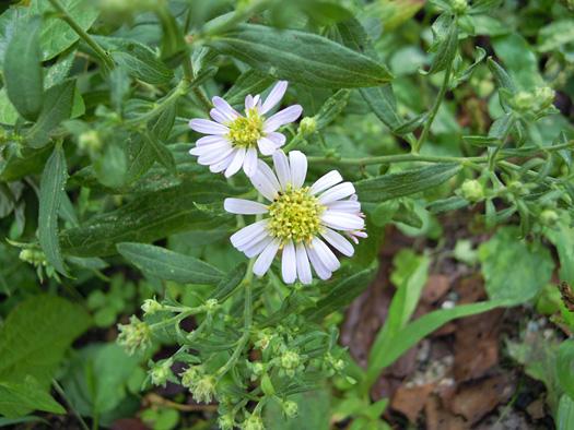 ノコンギクの花。 border=