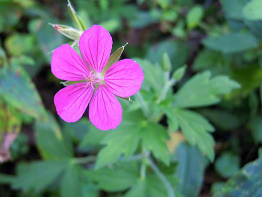 ゲンノショウコの赤い花。
