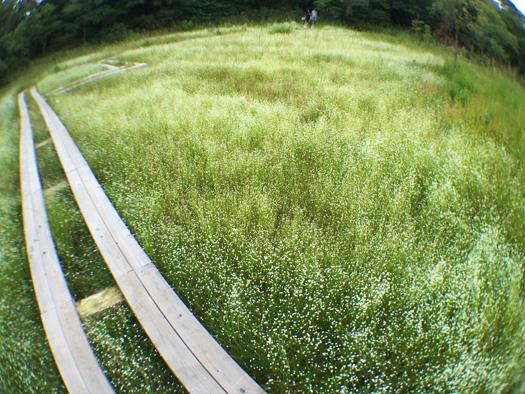 F湿地のシラタマホシクサは満開です。