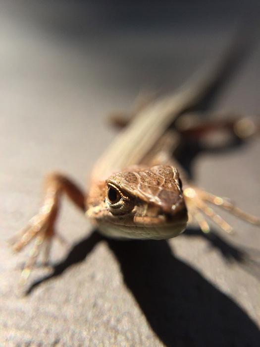 ニホンカナヘビの顔のアップ。