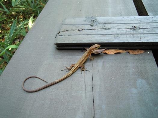 尻尾が再生したニホンカナヘビ。