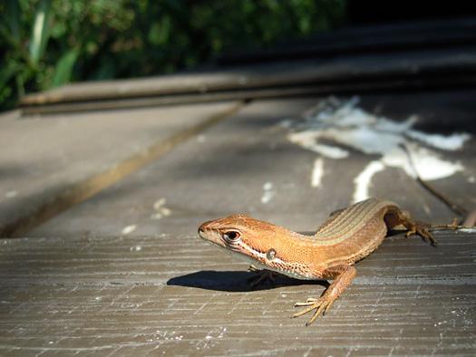 ニホンカナヘビの写真2。