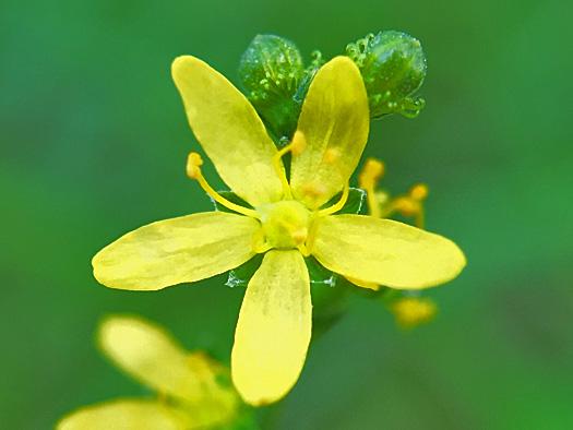 ヒメキンミズヒキの花のアップ。