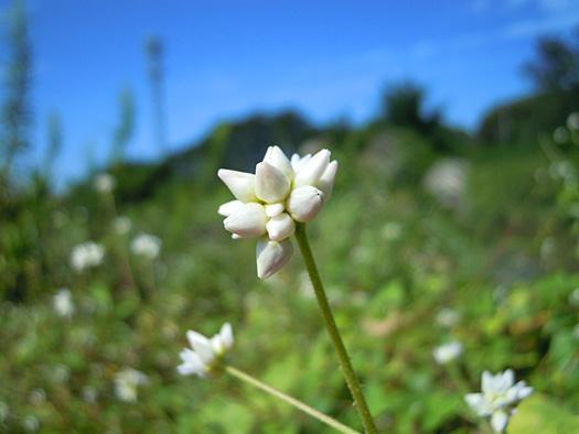 ママコノシリヌグイの花。