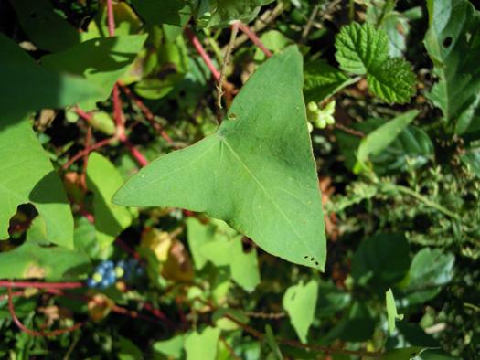 イシミカワの葉。