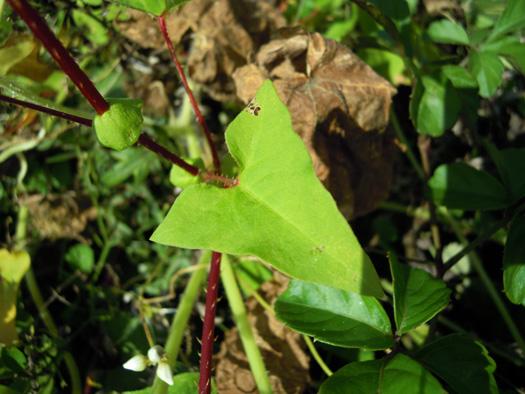 ママコノシリヌグイの葉。