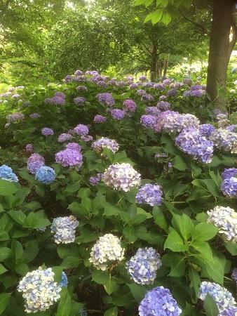 山梨の紫陽花小