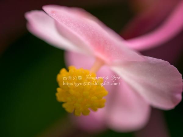 秋海棠 A