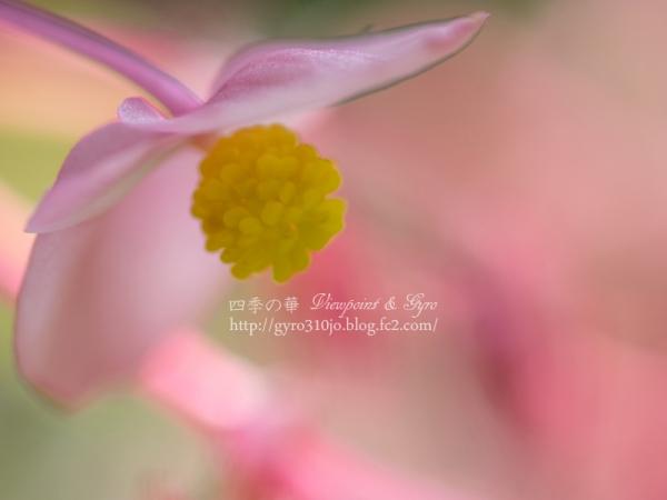 秋海棠 C