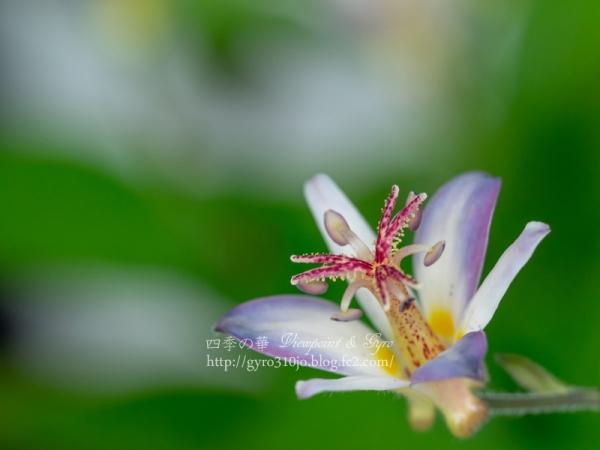 箱根湿生花園 A