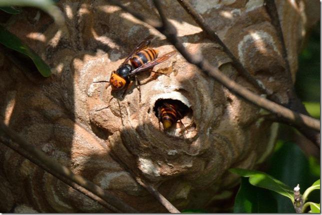 150913007 スズメバチと巣