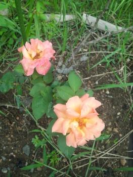 20150818アンネのバラ