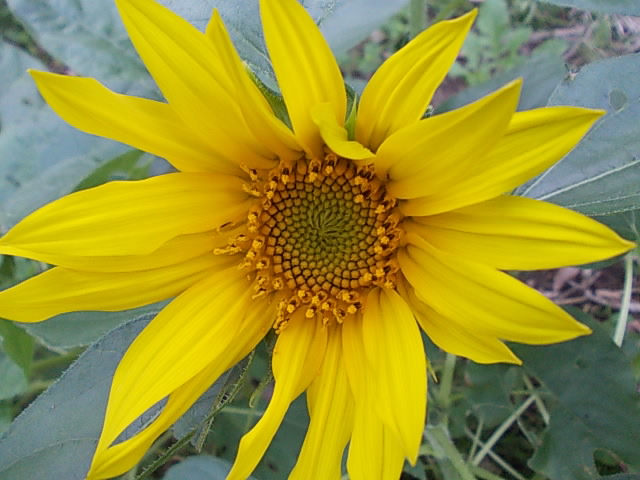Sunflower 20151012