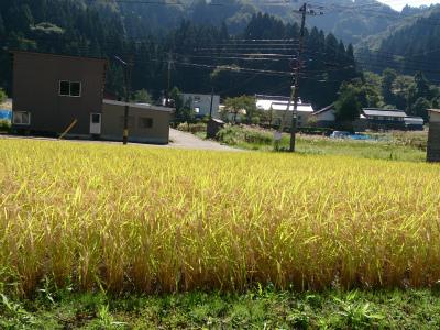2015-09-20 稲穂