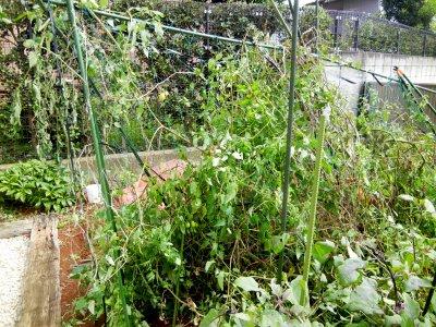 未明の強風の影響を受けたトマト