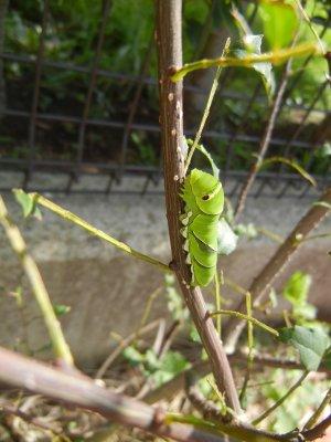 残っていたアゲハの幼虫