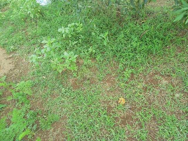 草だらけのトマト跡地