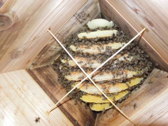 9月初旬 日本蜜蜂 270901