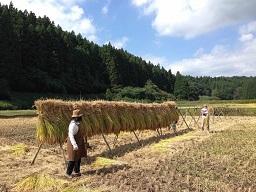 稲刈り干す