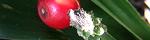 rohdea_japonica.jpg
