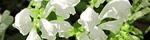 scutellaria_indica.jpg
