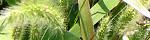 setaria_viridis.jpg