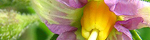 solanum_tuberosum.jpg