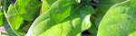 spinacia_oleracea.jpg