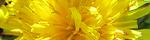 taraxacum.jpg