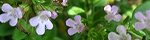 thymus_citriodorus.jpg