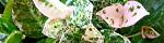 trachelospermum_asiaticum.jpg