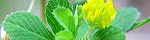 trifolium_dubium.jpg