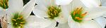 zephyranthes_candida.jpg