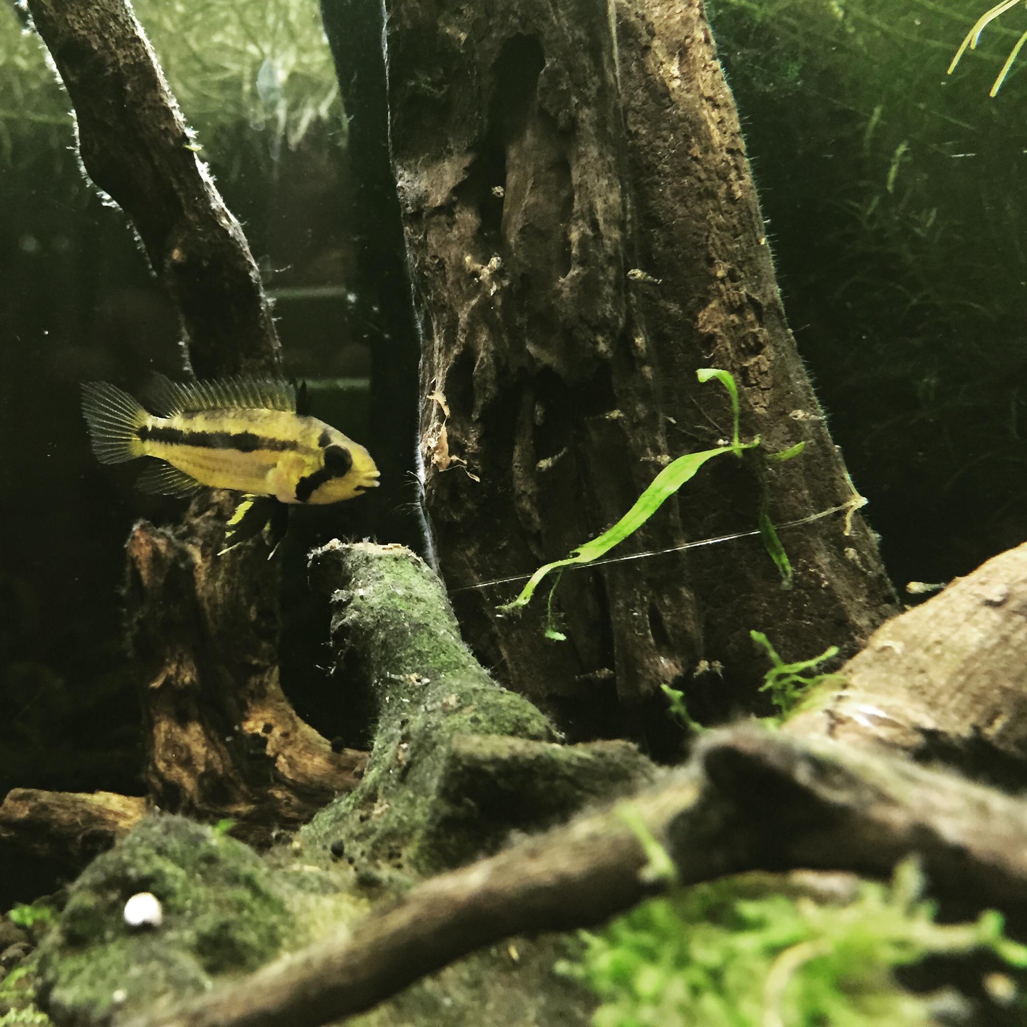 20150906アピストグラマカカトゥ 稚魚