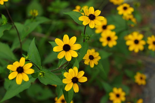 黄色い花デジー