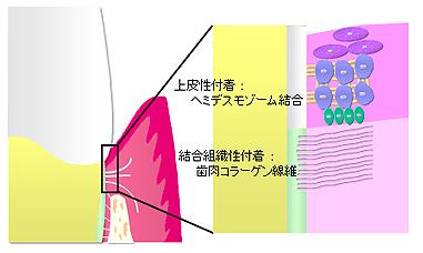 gingiva5.jpg