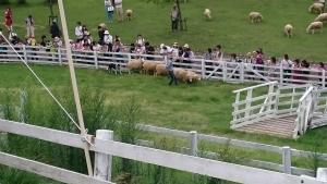 ④羊と牧羊犬ショー