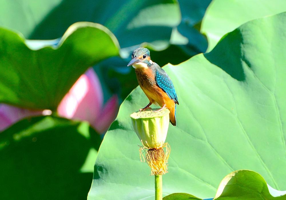 蓮池のカワセミ