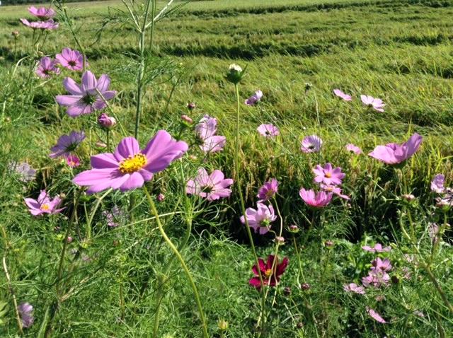 コスモスの集い2015コスモスの花